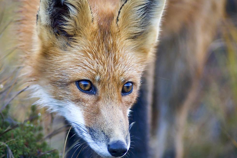 Alaskan Fox